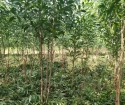 BÁN đất 5.6hecta tràm giá 180 triệu 1 hecta tại Nha Trang Khánh Hòa